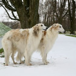 Tree hunting russian wolfhounds standing in winter park